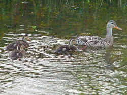 060522_ducks.jpg (126189 bytes)